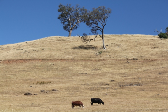 Cows in VIC.