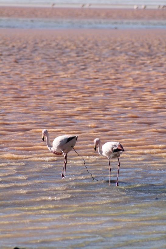 Flamingo poo.