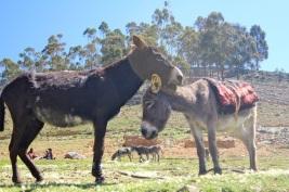Donkey love.