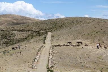 Cattle run.