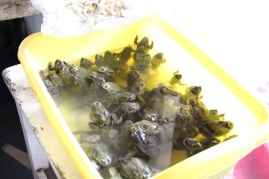 Frogs.