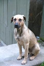 Dog near Machupicchu, Peru