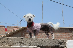 Ugly dog, Huanchaco, Peru
