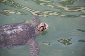 Turtles at El Nuro pier, Peru