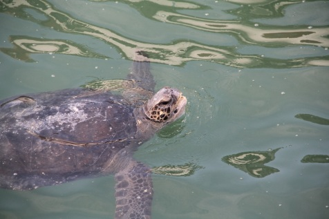 Turtles at El Nuro pier, Peru