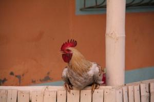 Rooster, Ecuador