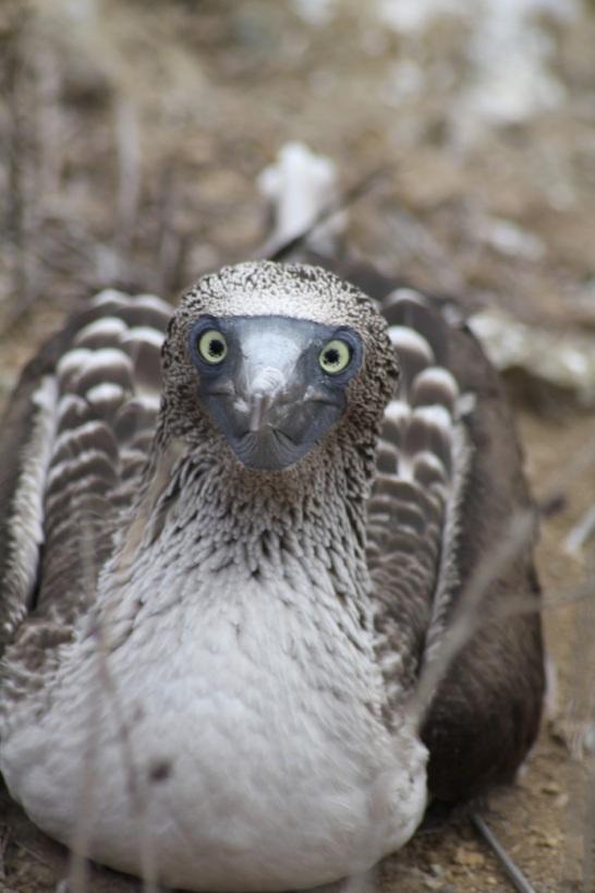 Blue-footed booby at Isla de la Plata, Ecuador