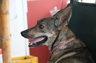 Big ears dog, Ecuador