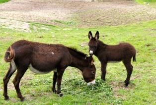 Donkeys, The Quilotoa Loop, Ecuador