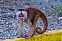 Monkey in Misahualli, Ecuador