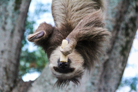 Sloth in Cartago, Colombia