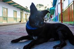 Street dog, Salento, Colombia
