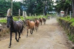 Horse stampede, Valle Del Cocora, Salento, Colombia