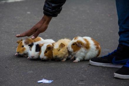Hamster race in Bogota, Colombia