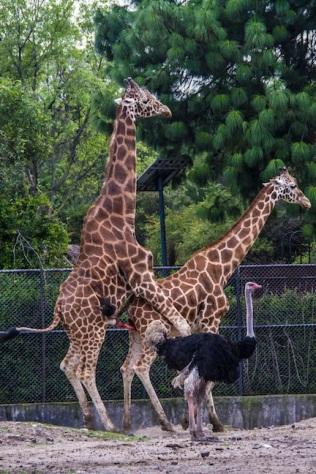 Giraffe sex, Mexico City