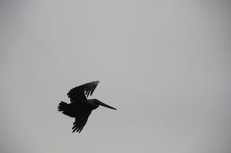 Pelican at Sumidero canyon, Mexico