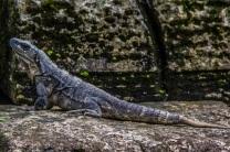 Lizard at Palenque ruins, Palenque, Mexico