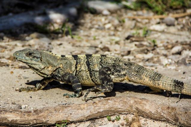 Lizard at Tulum ruins, Mexico