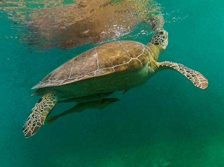 Turtle, Akumal beach, Mexico