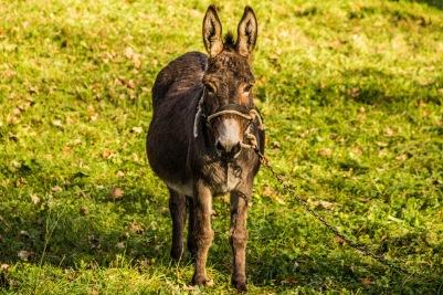 Donkey in Italy