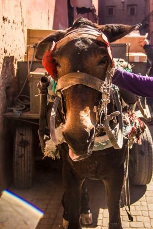 Donkey, Marrakesh, Morocco