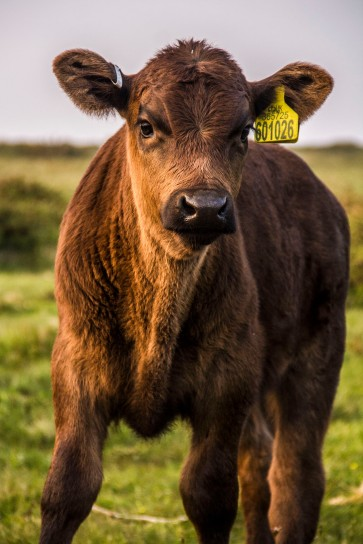 Baby cow.