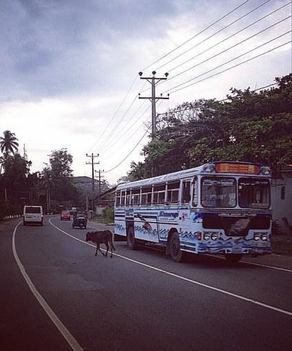 Cow vs. bus.